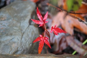 maple on rock